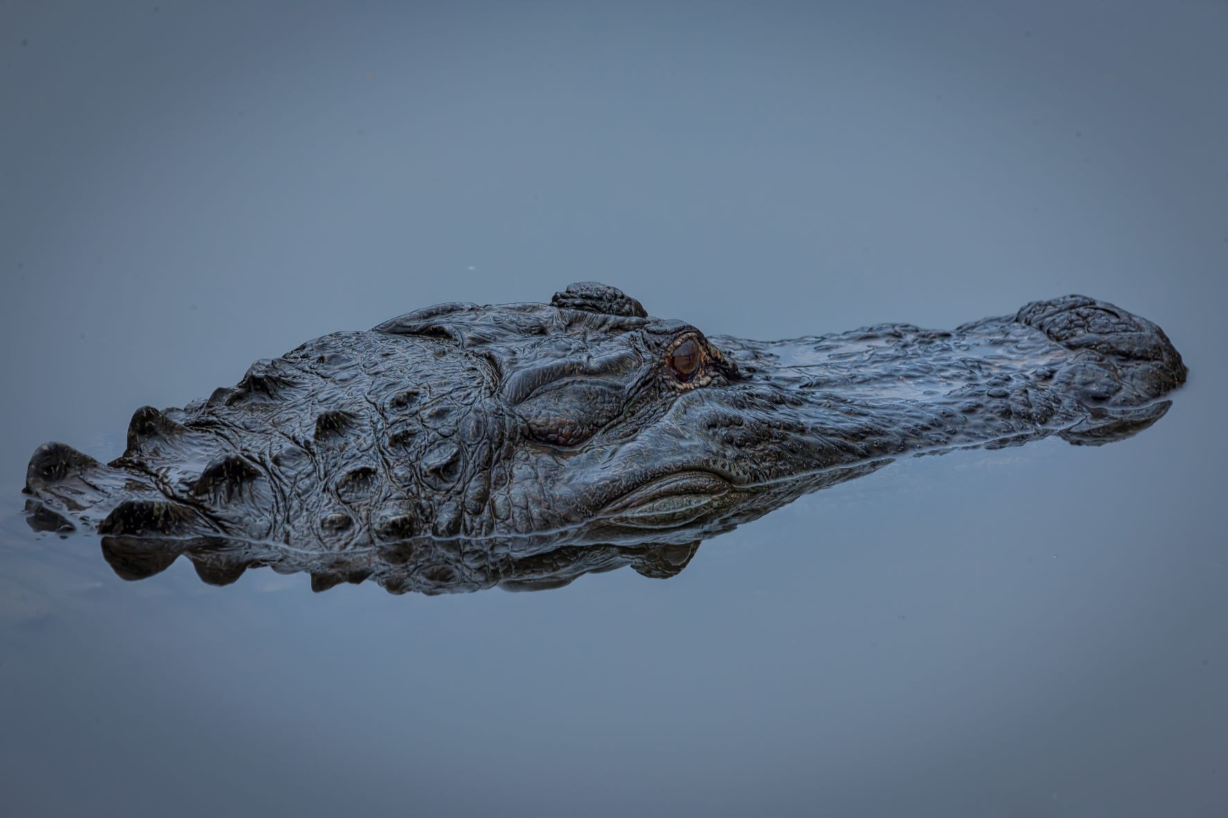 Read more about the article Alligator