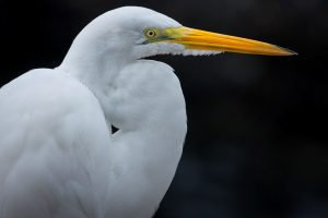 Read more about the article Egret