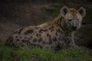 Read more about the article Hyena