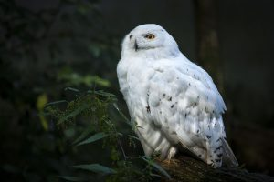 Read more about the article Snow Owl