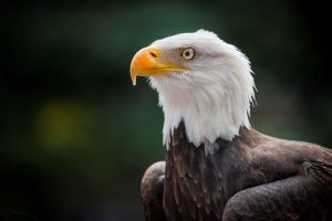 Read more about the article Bald Eagle